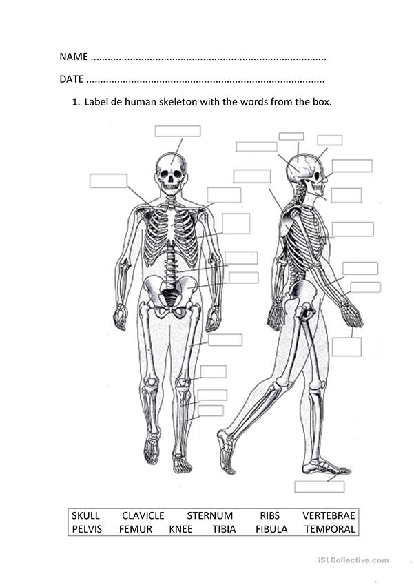 The Musculoskeletal System Worksheet