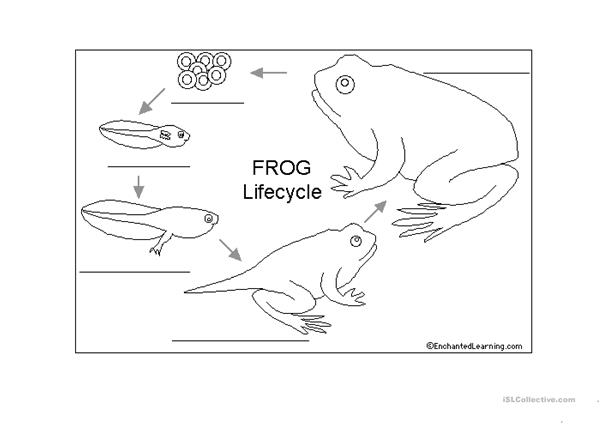 live cycle of a frog