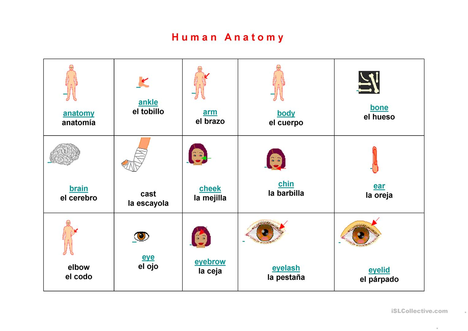 Human Anatomy Vocabulary Worksheet Free Esl Projectable Worksheets
