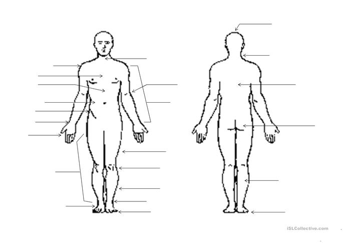 outline of the human body worksheet