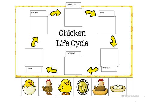 LIFE CYCLE OF A CHICKEN worksheet - Free ESL printable worksheets ...