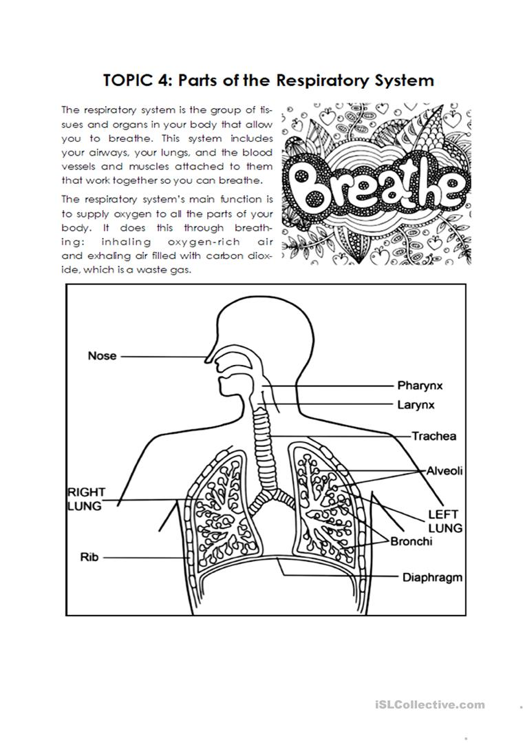 Respiratory System - English ESL Worksheets for distance learning With The Respiratory System Worksheet